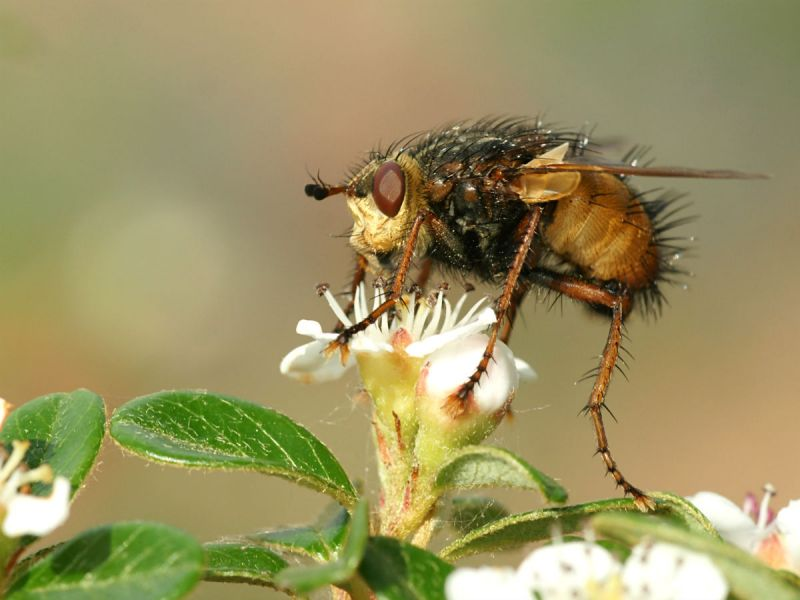 Parasitic fly (Tachina fera) on a white flower.