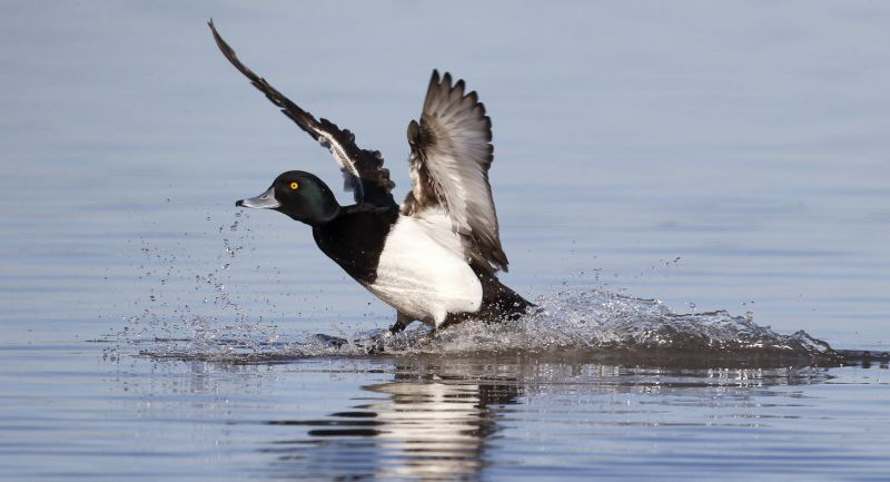 Tufted duck, on water