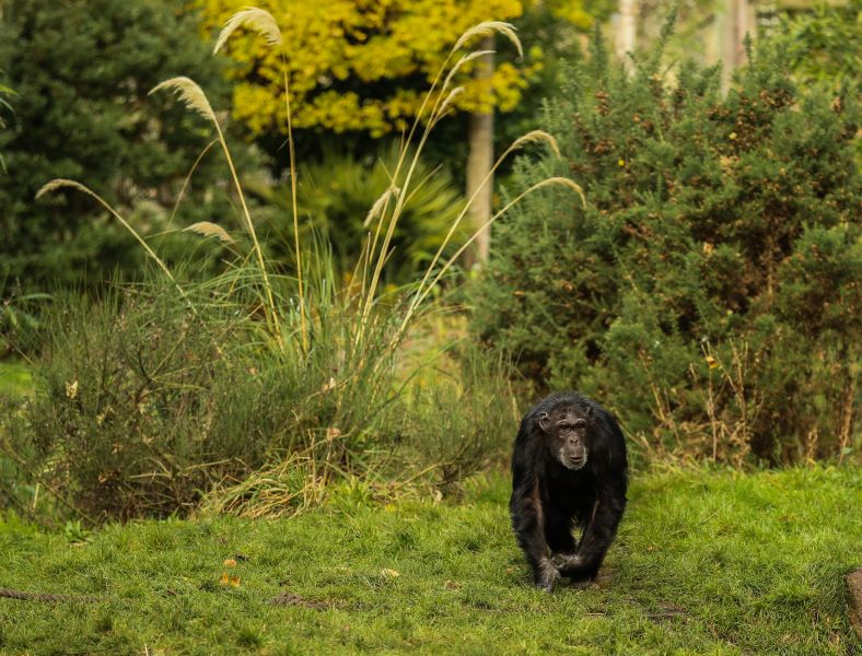 A chimpanzee wandering in the wild