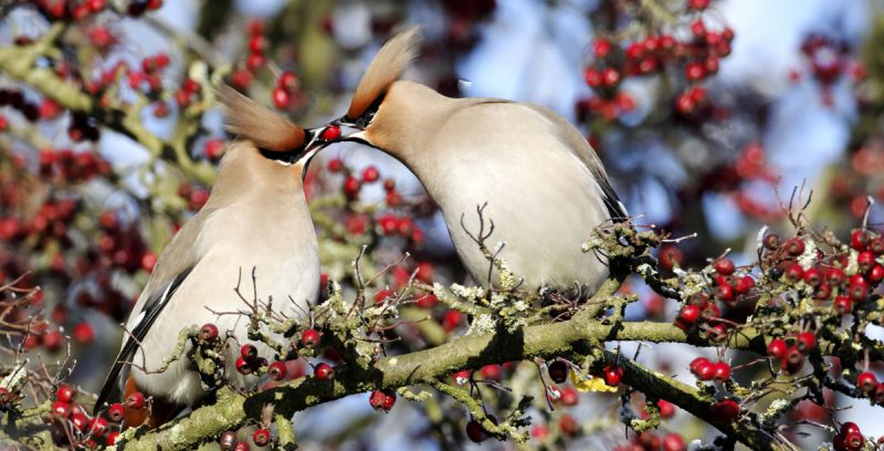 2 waxwings sharing red berries in tree