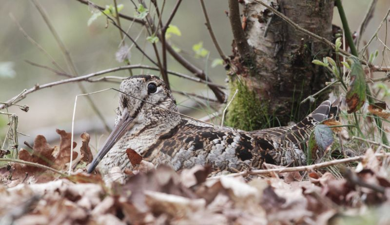 Woodcock sat on its nest among fallen oak leaves