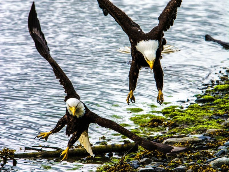 Bald eagles in the Tongass National Forest
