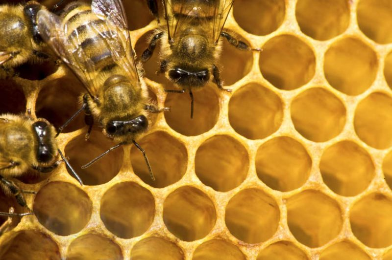 Bees on honey cells