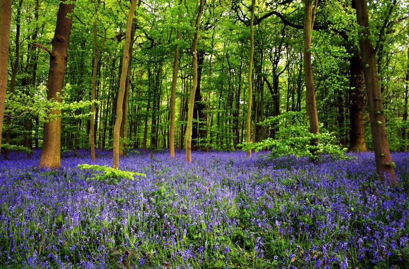 Tree facts: Bluebell flowers in Sherwood Forest