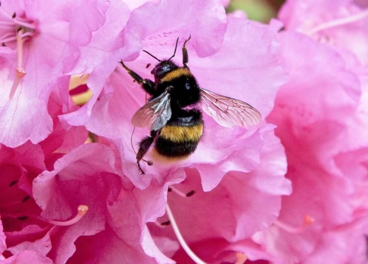 Buff-tailed bumblebee © Amelia Collins