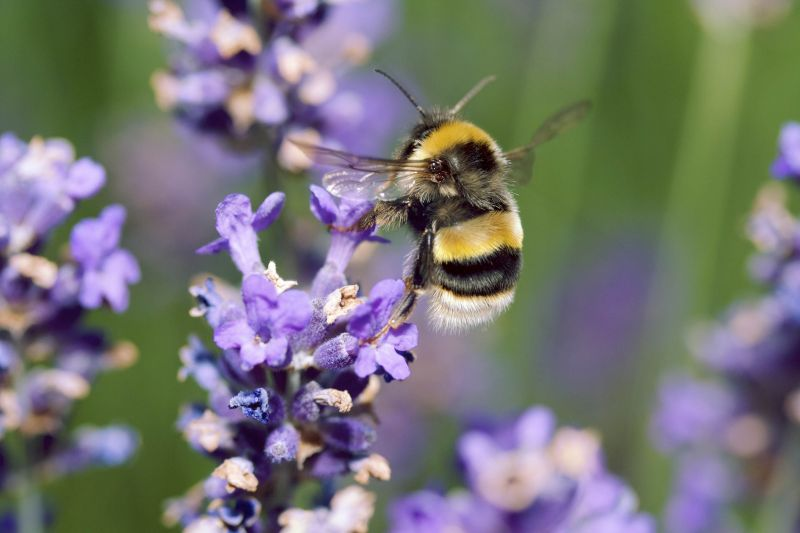Bumble bee on lavender