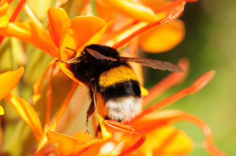 British bumble bee on an orange flower
