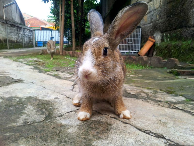 A brown rabbit outside in a yard
