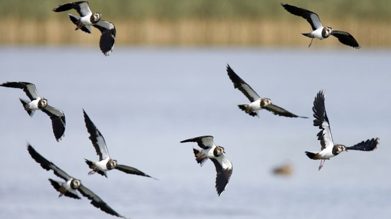 8 lapwings flying over a lake with tall grass at the edge
