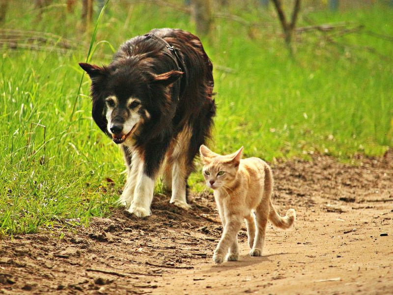 A border collie dog follows a ginger tom cat