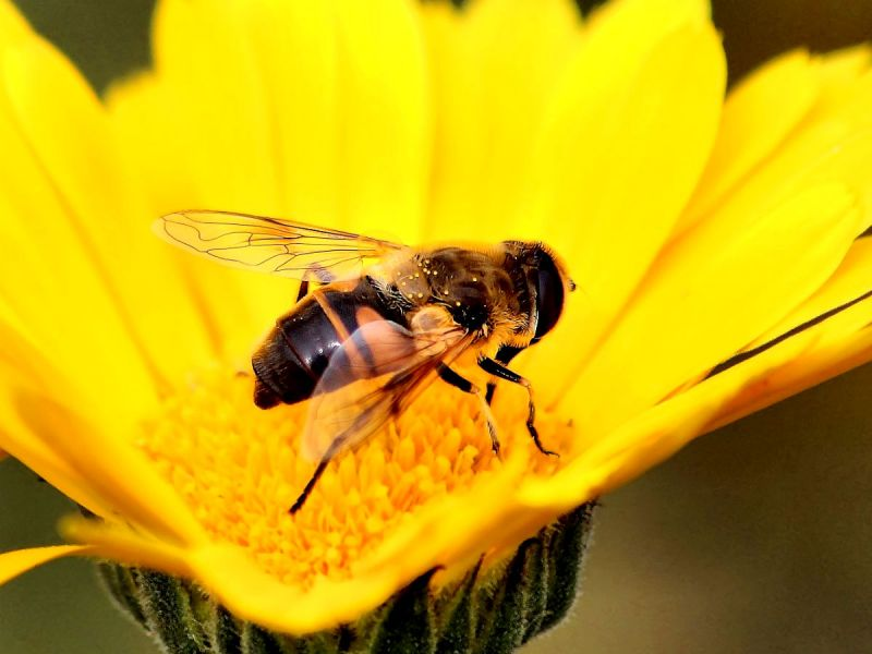 Drone fly on yellow flower