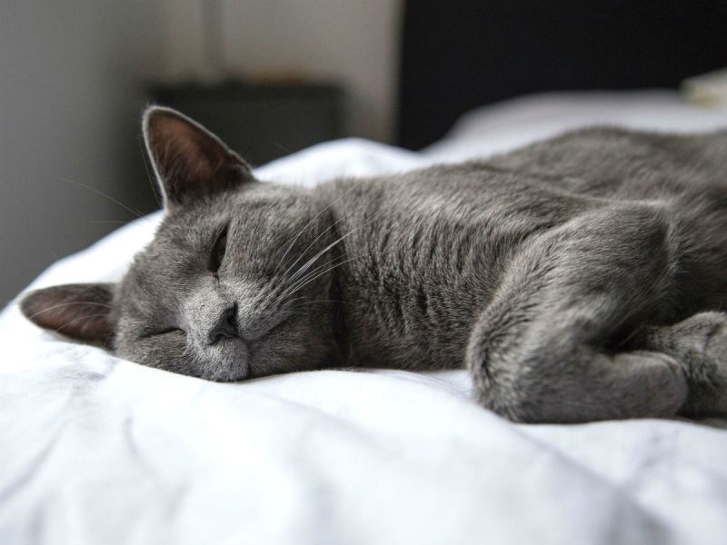 A grey short-haired cat resting on someone's bed