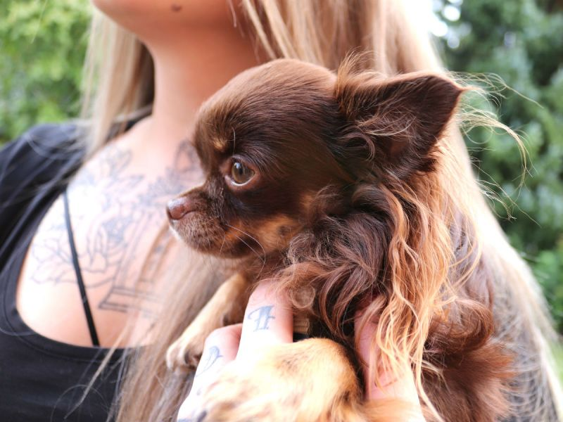 A small hairy little brown dog in the arms of its owner