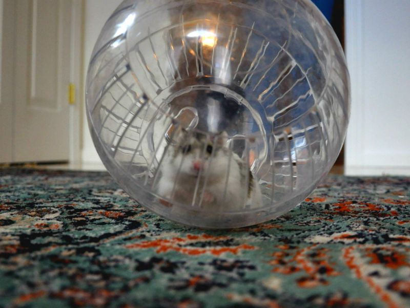 Hamster running around on the carpet in a hamster ball