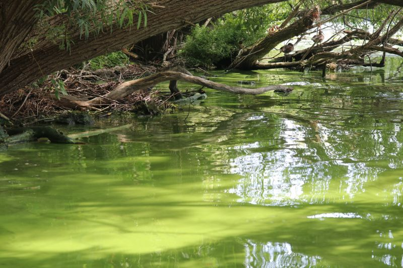 Green algal bloom at side of river under overhanging trees.