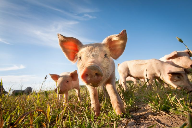 Four pigs or piglets in a field. One pig central and facing camera.