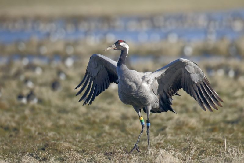 Common crane on grassy area spreading wings