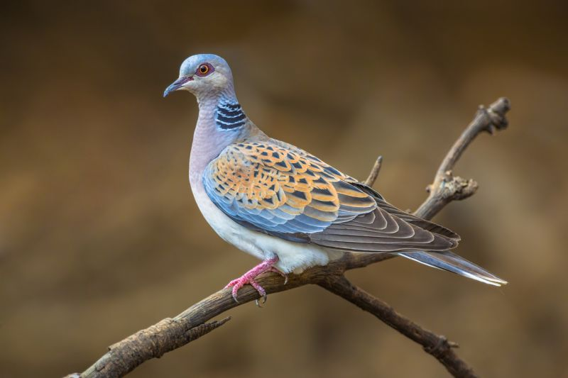 Turtle Dove on branch at Otmoor wetlands, Oxfordshire.
