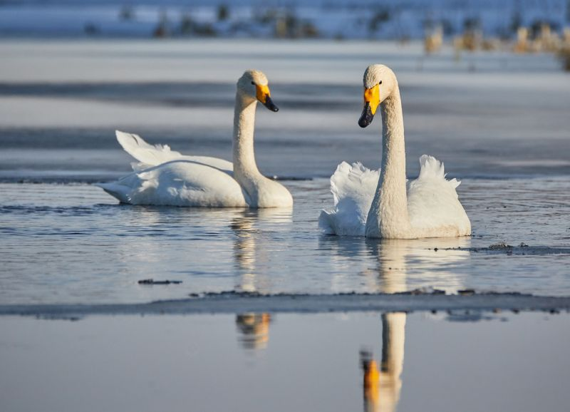 2 whooper swans on calm water swimming towards camera.
