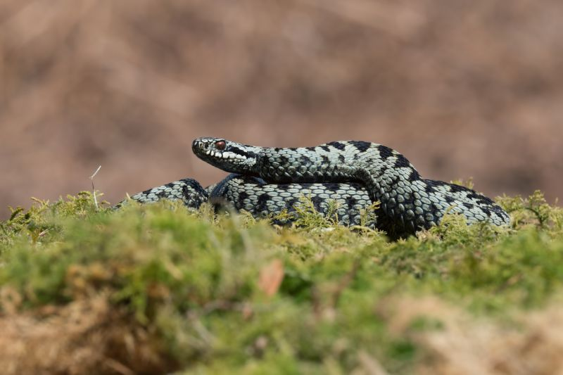 photo of on adder (Vipera berus)