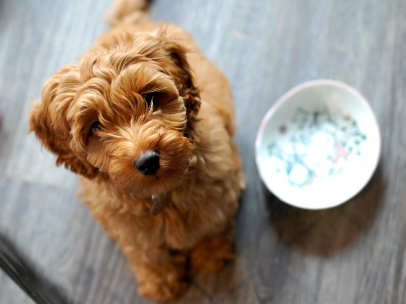 A hungry labradoodle puppy waiting next to his food dish