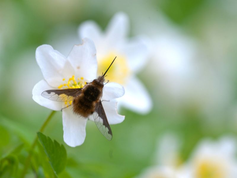 Bee fly on white flower