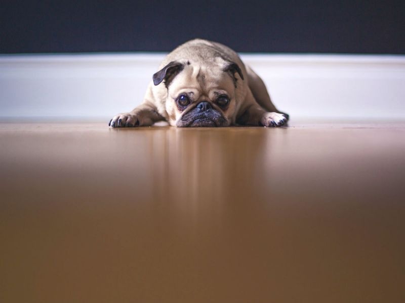 A Pug dog lying flat and looking sad