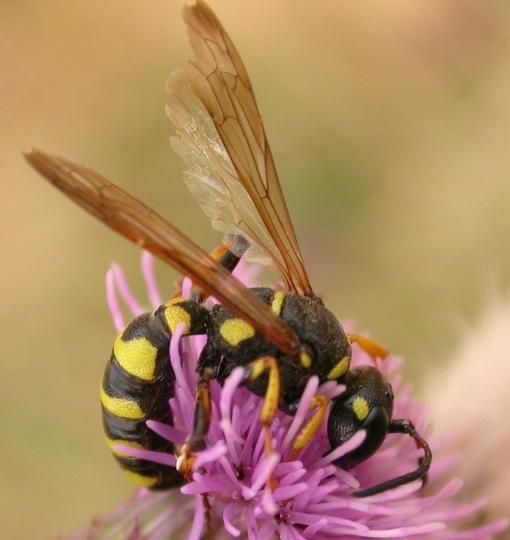 Sand wasp on purple flower