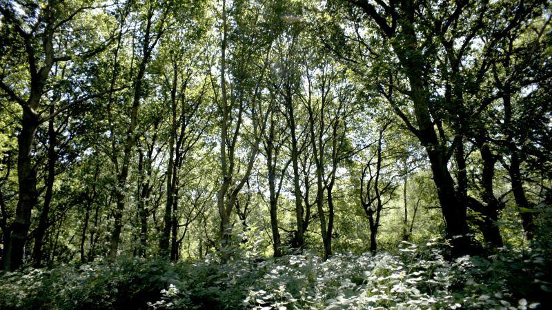 Trees in Sherwood Forest