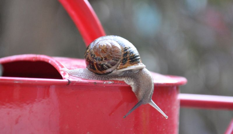 Snail on red watering can