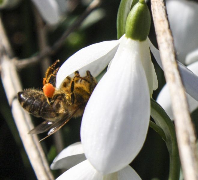 Bee and snowdrop