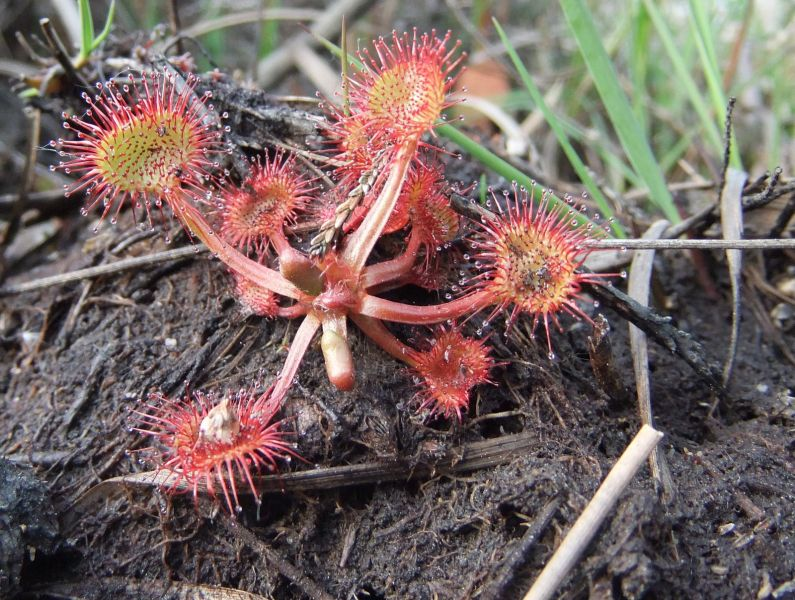 photo of sundew plant on Hartland Moor