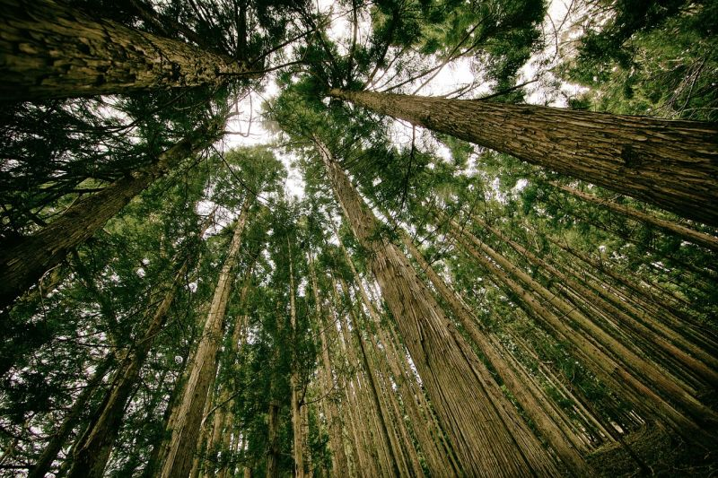 Looking up at a canopy of tall trees in a forest