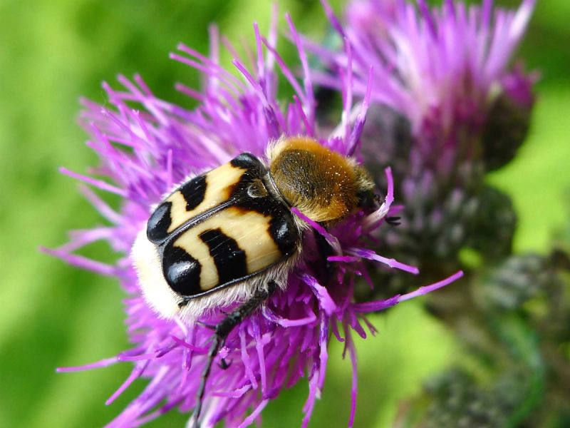 A bee beetle (Trichius fasciatus) on flower