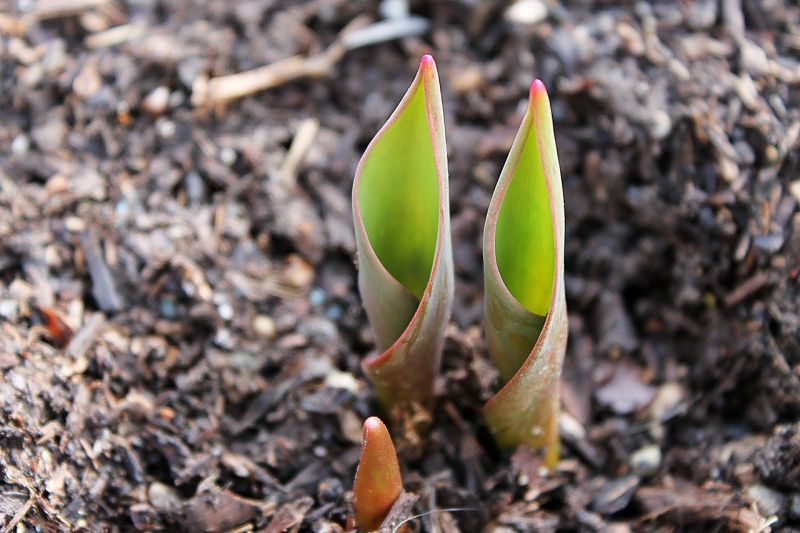 Tulip bulbs emerging from mulch