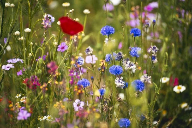 Growing from seed is ideal for creating habitat such as wildflower meadows