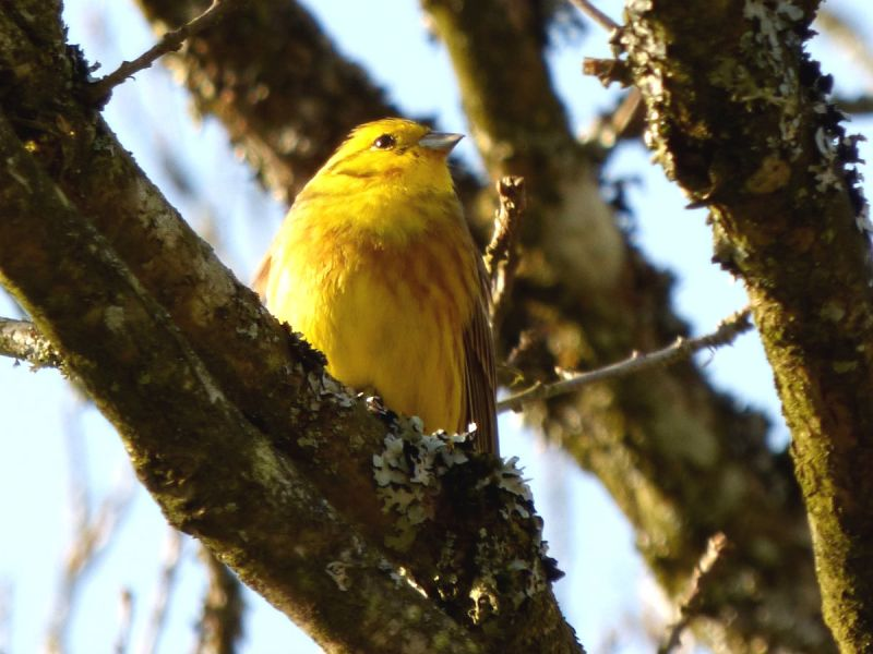 A yellowhammer bird perching on the branch of a tree
