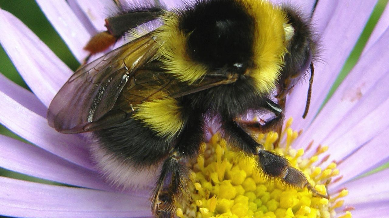 photo of garden bumblebee, Bombus hortorum