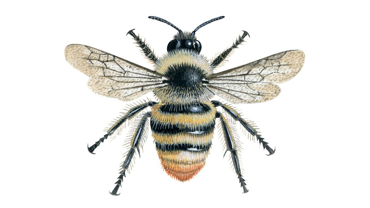 The Great British Bee Count Brown Carder Bees