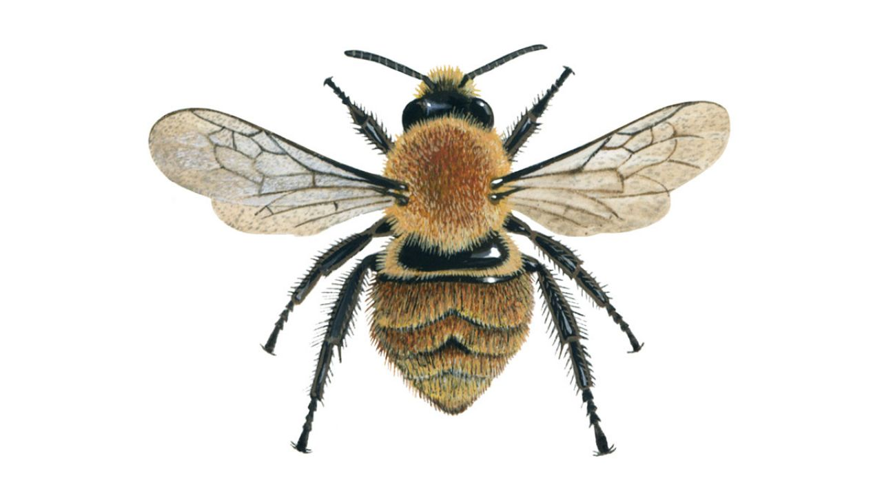 The Great British Bee Count Bee Identification Guide Friends Of