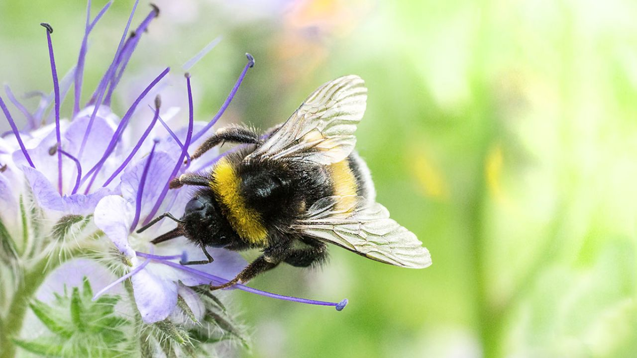 A bumblebee on a Phacelia flower