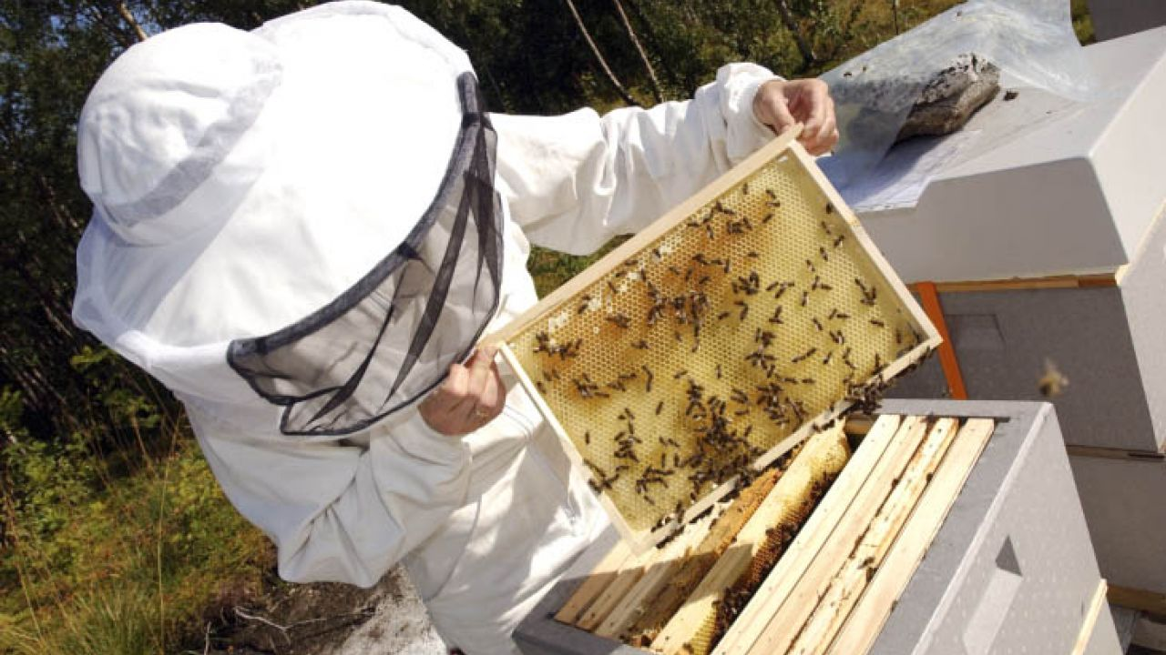 A beekeeper inspects honeybees on frame from a hive