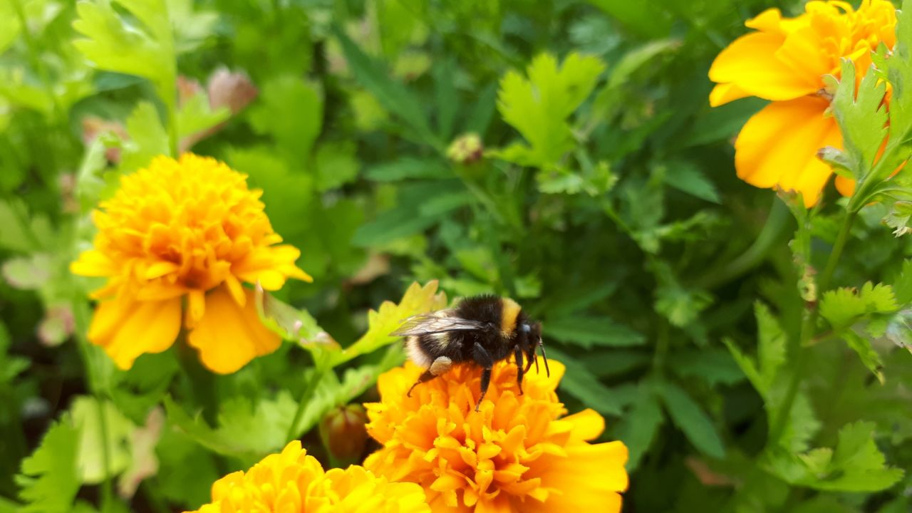Buff tailed bumblebee on French marigolds