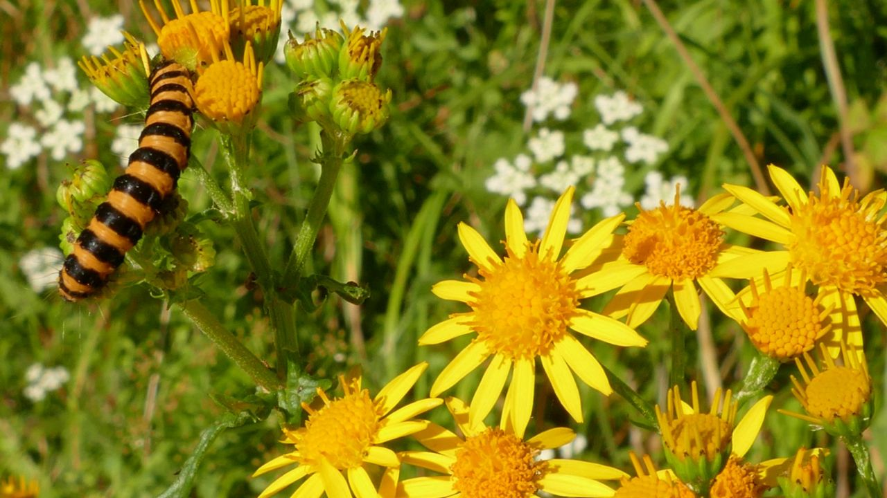 Is ragwort poisonous a ragwort mythbuster friends of the earth is ragwort poisonous a ragwort mythbuster mightylinksfo