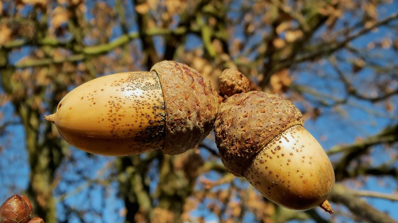 A close up of the acorns on an English oak tree