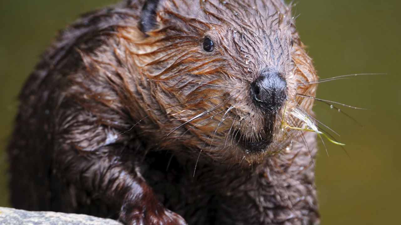European beaver, now back in Britain