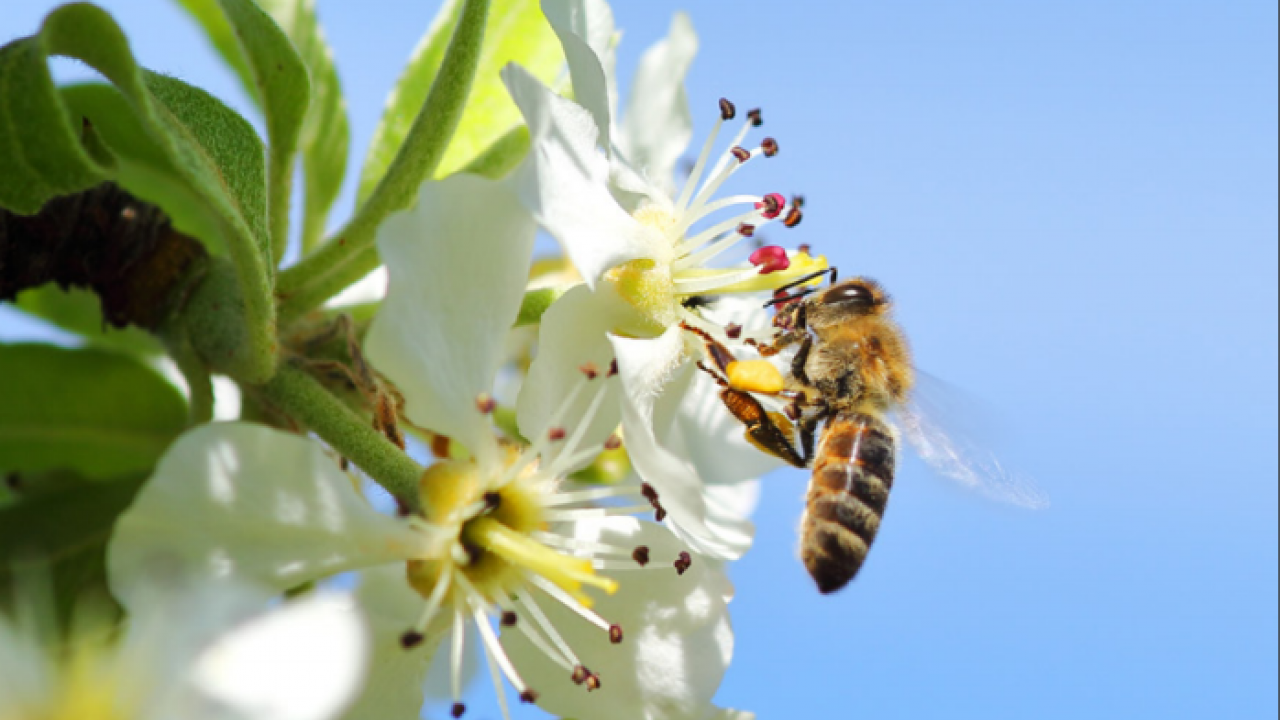 Honey bee on blossom