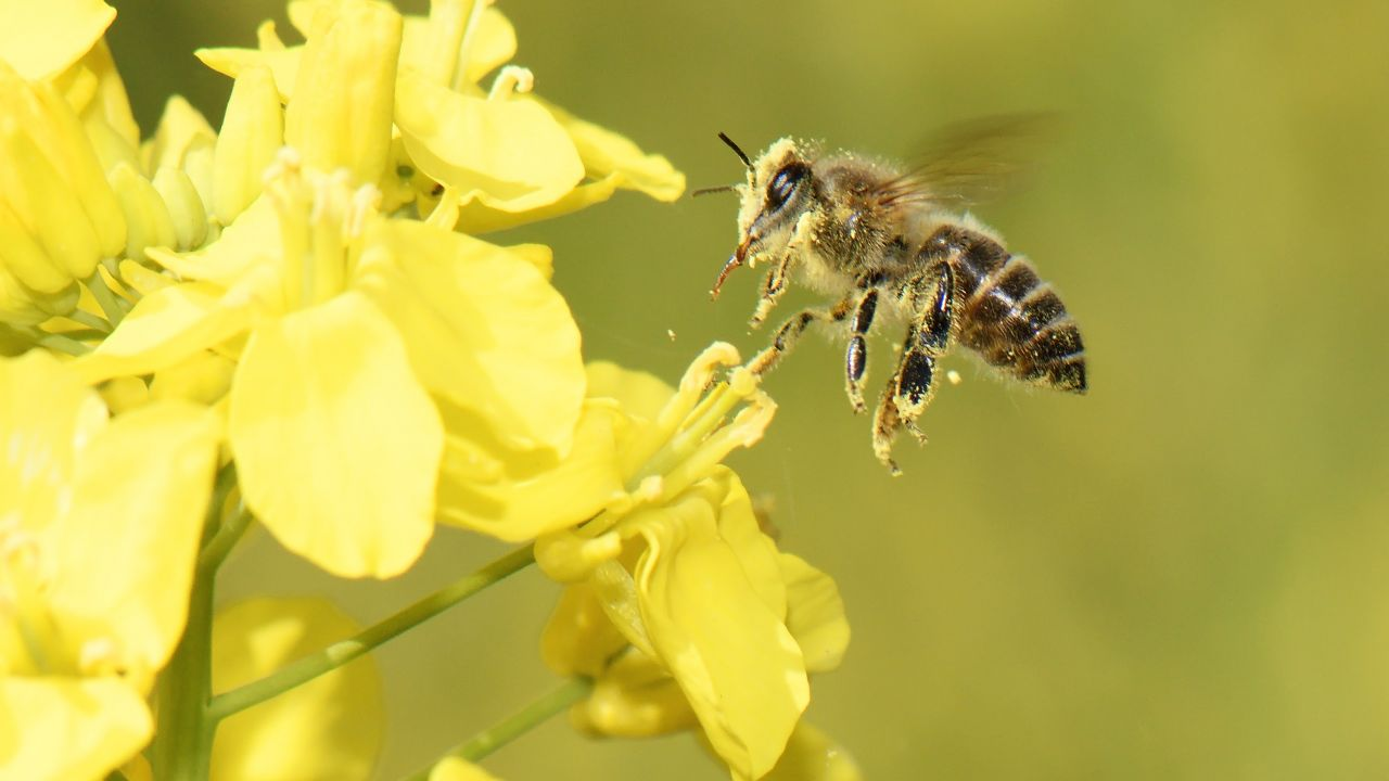Honey bee on rapeseed