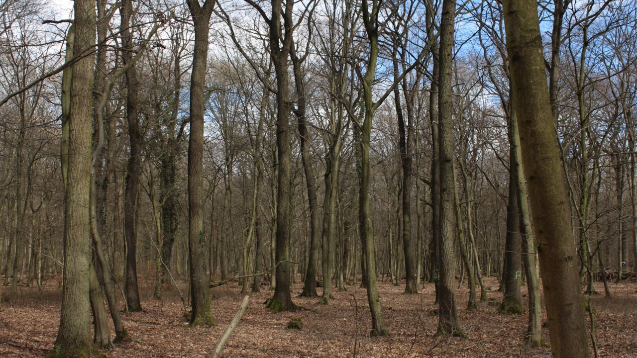 Grove of oak trees, Hambach Forest, Germany
