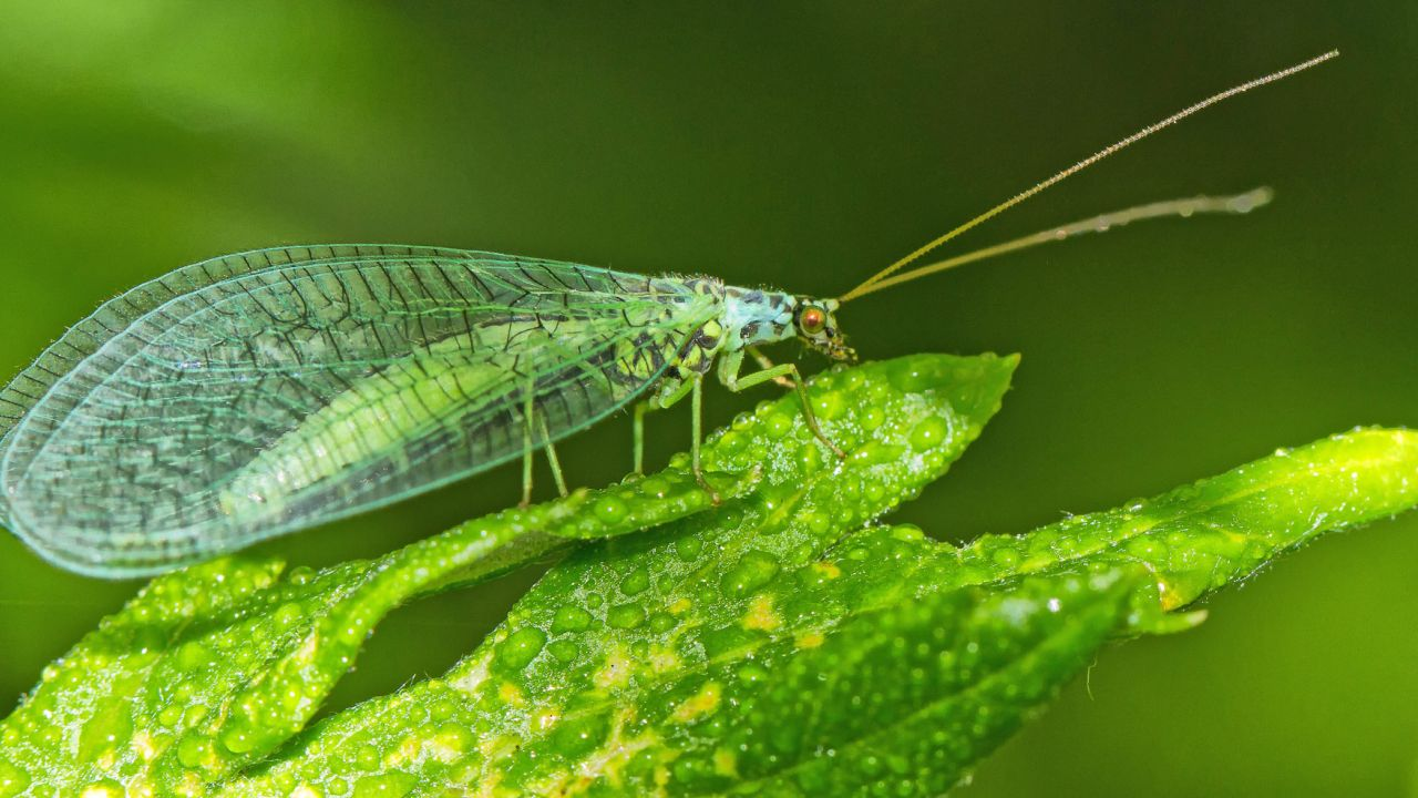 Lacewing sitting on a leaf